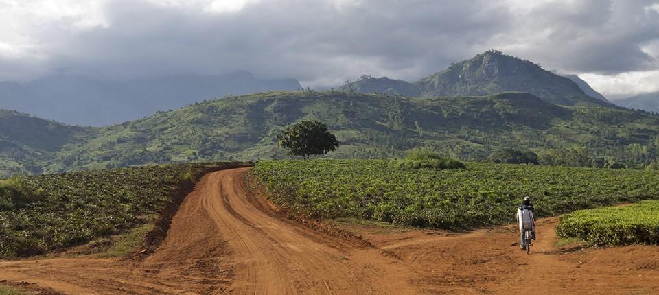 Teeplantagen in der Nähe von Thylyo